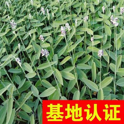 浙江省杭州市萧山区再力花