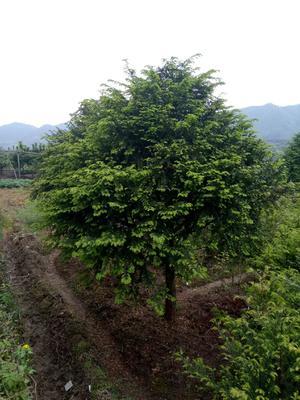 浙江省绍兴市新昌县南方红豆杉 2.0~2.5米