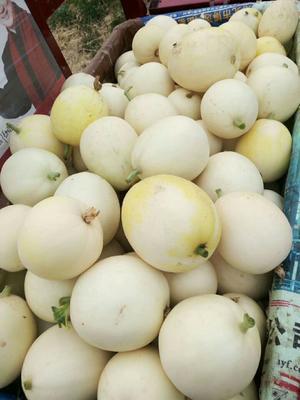 山东省济南市章丘市景甜5号 0.5斤以上