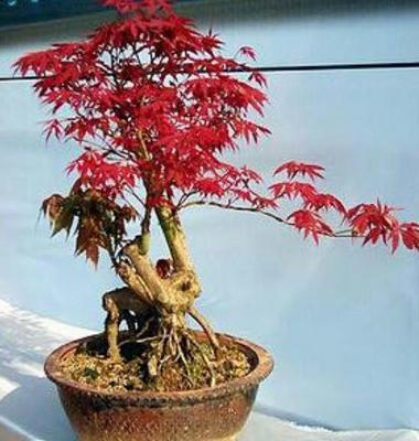 广东省广州市花都区日本红枫红舞妓