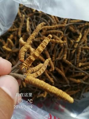 西藏自治区拉萨市城关区冬虫夏草  西藏那曲特级冬虫夏草