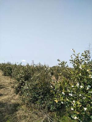 江西省宜春市樟树市油茶苗