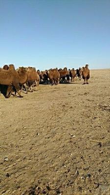内蒙古自治区巴彦淖尔市五原县双峰驼