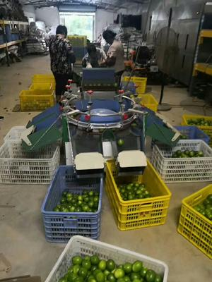 广西壮族自治区贵港市港北区台湾四季青柠檬 1.6 - 2两