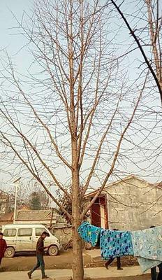 广西壮族自治区桂林市资源县银杏实生树