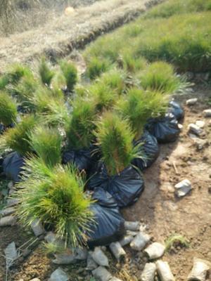 云南省红河哈尼族彝族自治州弥勒市湿地松容器苗