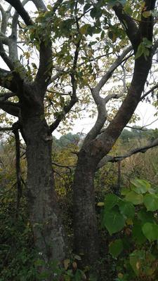 广东省广州市海珠区丛生朴树