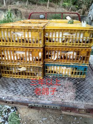 广东省惠州市惠城区肉鸽 500-600克