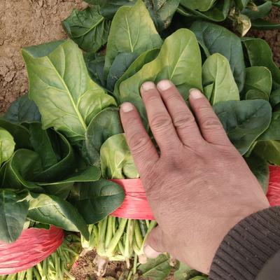 山东省滨州市惠民县大叶菠菜 25~30cm