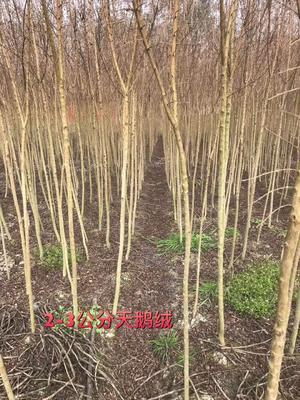 江苏省无锡市宜兴市紫薇树
