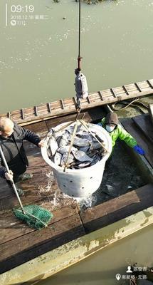 江苏省常州市武进区池塘鳊鱼 人工养殖 1-1.5公斤