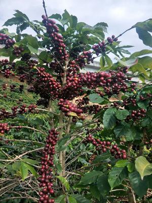 云南省保山市隆阳区蓝山咖啡豆