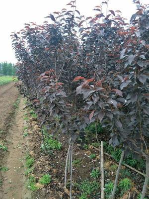 山东省泰安市岱岳区日本红叶樱花 1.5~2米 4公分以下