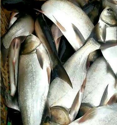 江苏省连云港市赣榆区白鲢鱼 人工养殖 1.5-3.5公斤