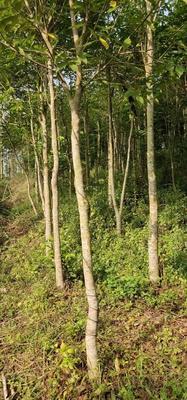 广西壮族自治区钦州市灵山县土沉香