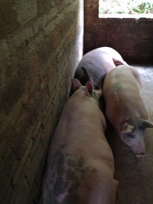 这是一张关于三元猪 300斤以上 的产品图片
