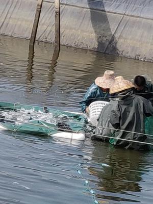广东省湛江市徐闻县杉斑 人工殖养 1-1.5公斤