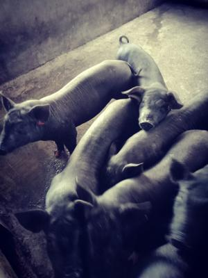 广西壮族自治区玉林市博白县外三元仔猪