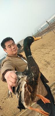 河南省驻马店市汝南县绿头鸭 2-3斤