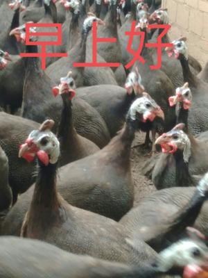 广西壮族自治区梧州市万秀区贝蒂纳火鸡 10-15斤