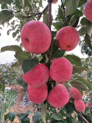 这是一张关于红富士苹果 85mm以上 条红 纸袋 的产品图片