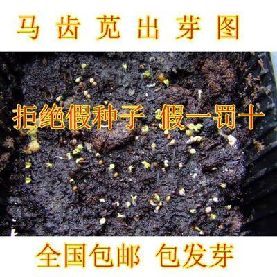 山东省临沂市平邑县马齿笕种子 种子