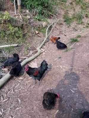 这是一张关于五黑鸡 3-4斤 统货 的产品图片