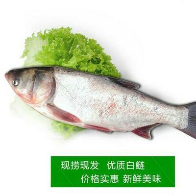 湖南省常德市鼎城区白鲢鱼 人工养殖 1.5-4公斤