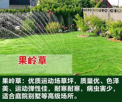 江苏省宿迁市沭阳县果岭草  果岭草种子 地毯草种