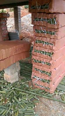 这是一张关于金竹 的产品图片