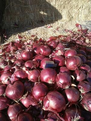 甘肃省武威市民勤县紫皮洋葱 混装通货