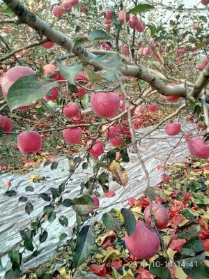 这是一张关于红富士苹果 75mm以上 全红 纸袋 的产品图片