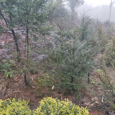 四川省宜宾市翠屏区南方红豆杉 1.5~2米
