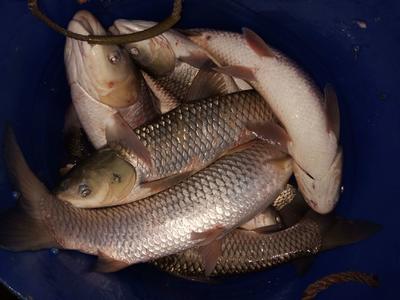 这是一张关于生态草鱼 野生 1.5-6公斤 的产品图片