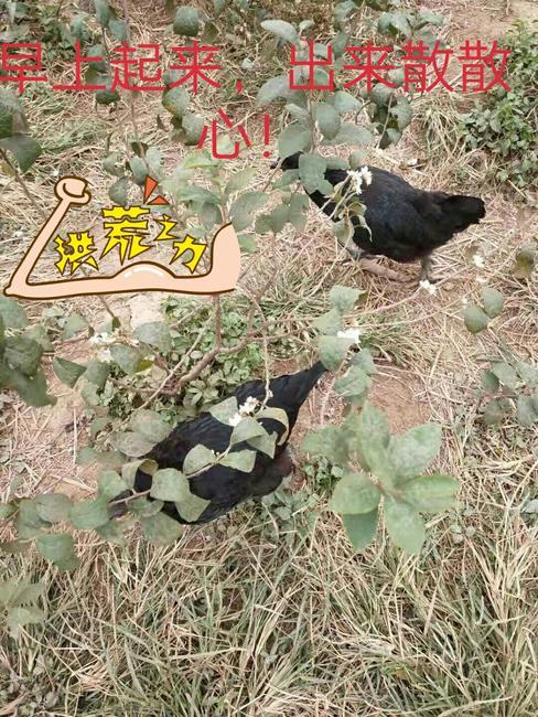 五黑鸡 2-3斤 母