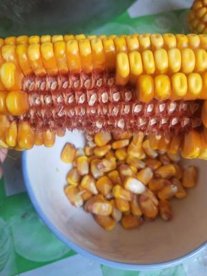 这是一张关于鹏玉1号玉米粒 毛货 水份20%-30% 的产品图片
