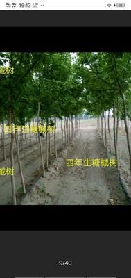 吉林省松原市前郭尔罗斯蒙古族自治县糖槭树