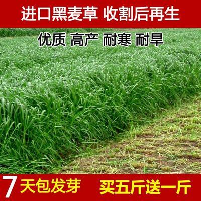江苏省宿迁市沭阳县黑麦草 进口耐寒牧草种子多年