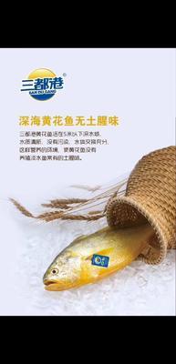 山东省烟台市芝罘区大黄鱼 野生 0.5公斤以下