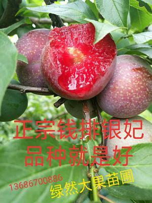 这是一张关于银妃三华李树苗 的产品图片