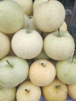 山东省泰安市岱岳区黄金梨树苗 1~1.5米