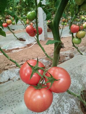 山东省潍坊市昌乐县硬粉番茄 通货 弧二以上 硬粉