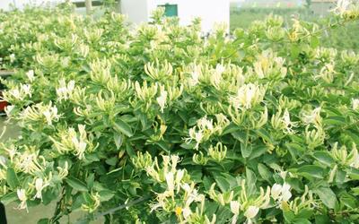 这是一张关于金银花 的产品图片