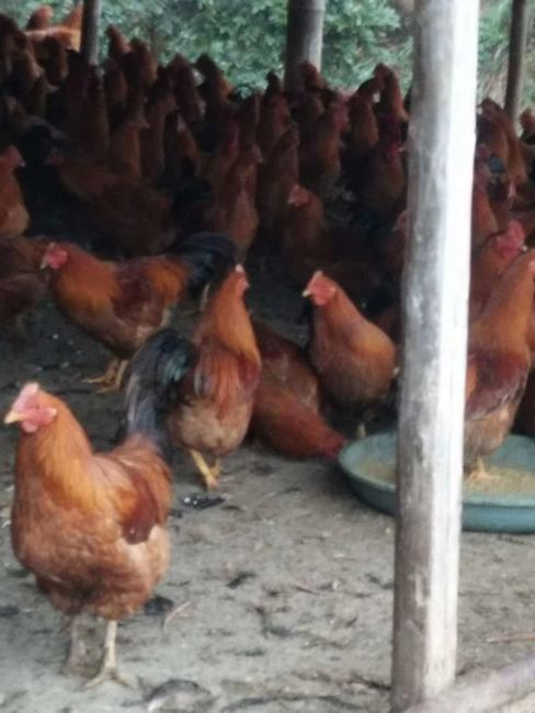 阉鸡 5-6斤 统货
