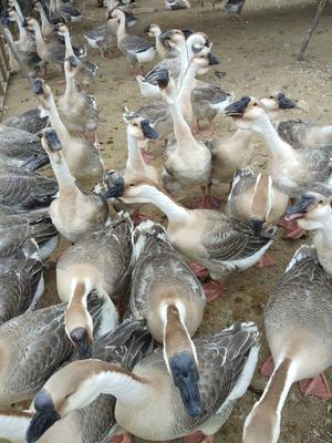广东省汕尾市陆丰市狮头鹅 12斤以上 统货 半圈养半散养