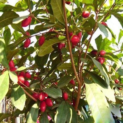 这是一张关于神秘果苗  四季开花盆栽地栽阳台的产品图片