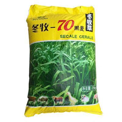 江苏省宿迁市沭阳县冬牧70种子  黑麦草种子四季多年生
