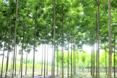 这是一张关于桉树苗  桉树替代品,泓森槐的产品图片