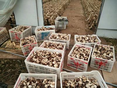 这是一张关于香菇808 鲜香菇 2.5cm~4cm 冬菇 的产品图片