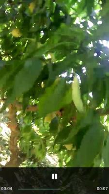 这是一张关于嫁接桃树苗 0.5米以下 的产品图片